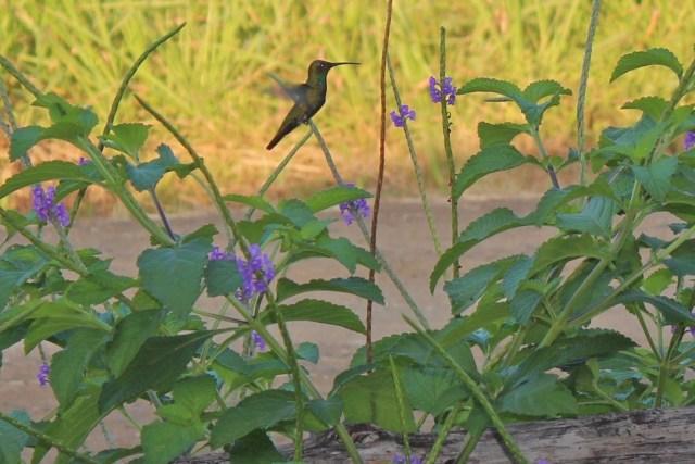 Rufous-tailed Hummingbird 1