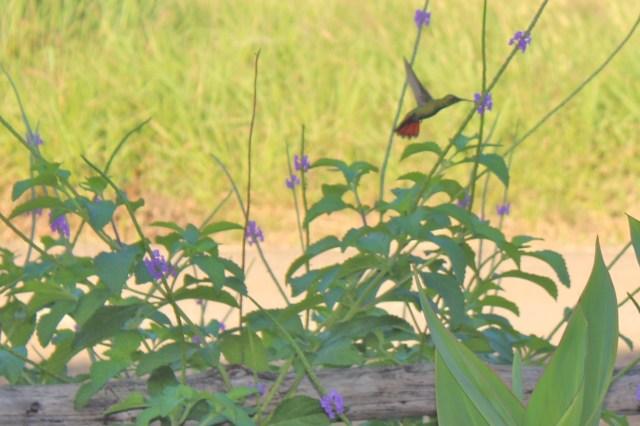 Rufous-tailed Hummingbird 2