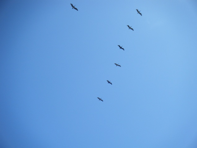 One day there were many brown pelicans in the air. Some came quite low.