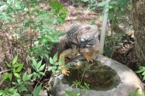 Iguana, he was having a drink.