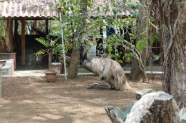 Emu - sitting down.