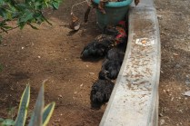 Chickens bedding down for their afternoon siesta.