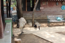 Emu, hen and chicks. How's that for some size perspective?