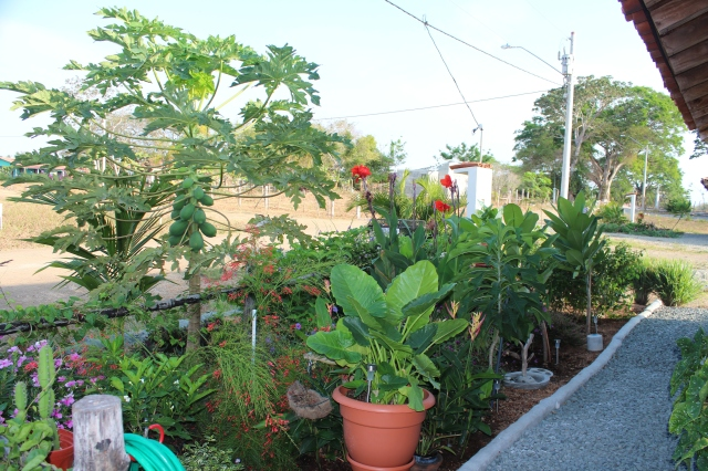 April 2013 - Even the papaya tree was less than a foot tall when planted.