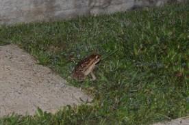 Cane toads like musica too!