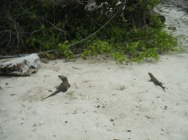 Two iguanas.