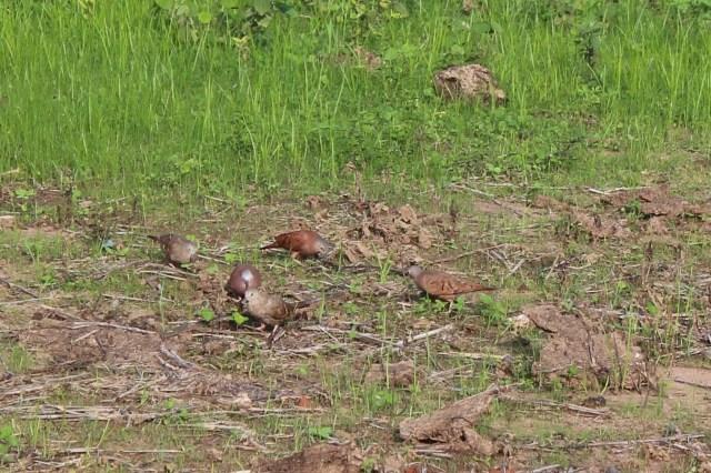 Ruddy Ground Dove Family