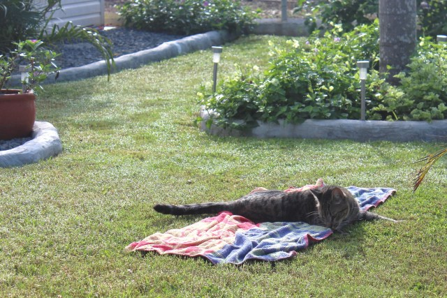 Bandit laying on a towel I'd place on the lawn.  My footprints are in the dew.