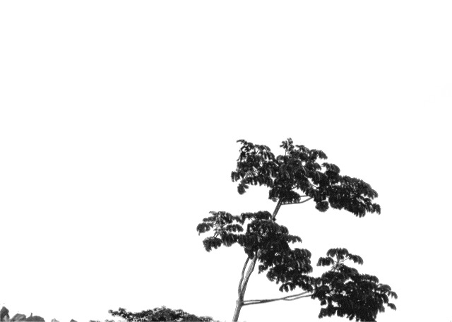 Black and White One Tree