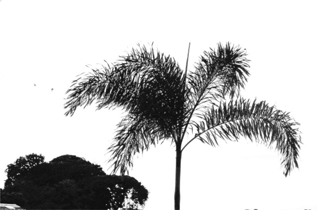 Palm and Birds Black and White