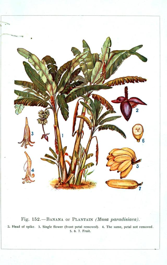 Botanical-Banana-Educational-plate_2