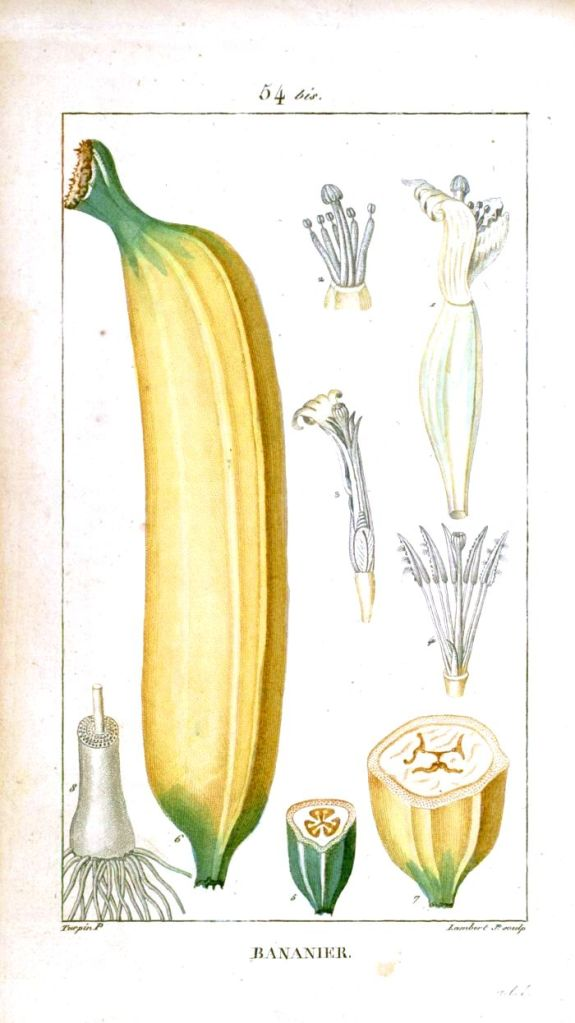Botanical-Fruit-Banana-Educational-plate