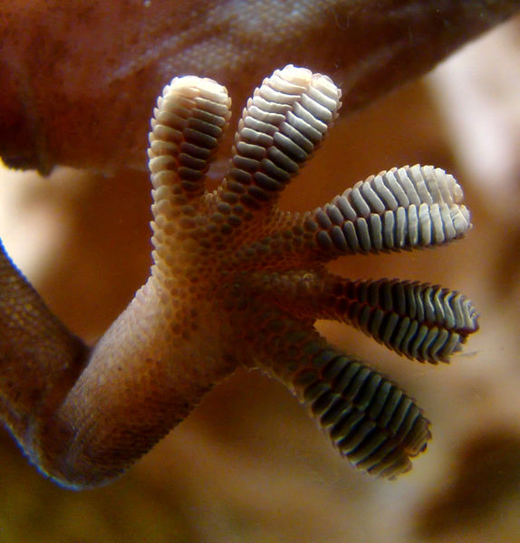Close-up of the underside of a gecko's foot as it walks on vertical glass.  Courtesy Wikipedia.