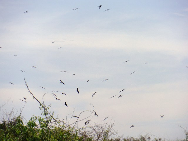The Frigate Bird nesting area.