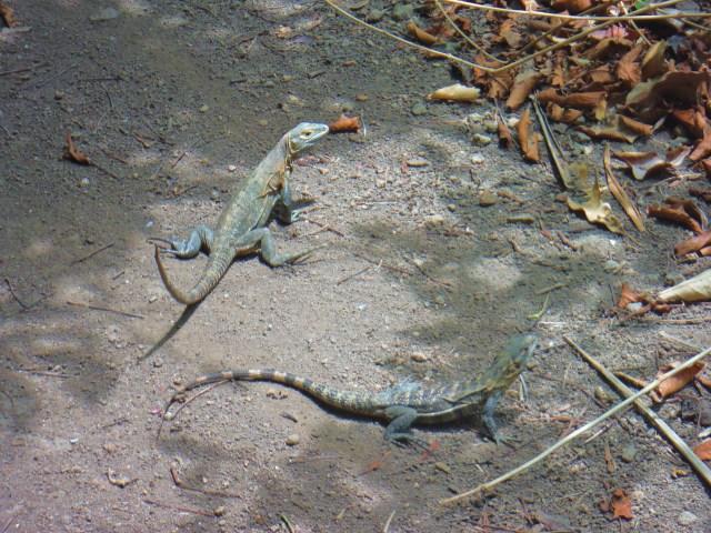 Two iguana buddies on the walking path.