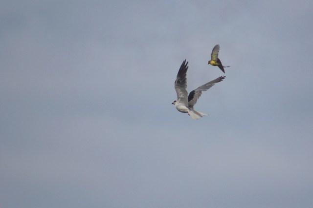 Kite and Flycatcher