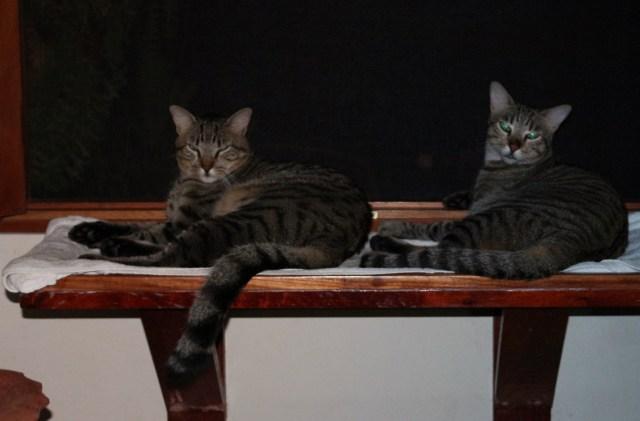 Dos Gatos Shelf