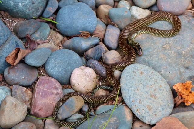 Coffee Snake