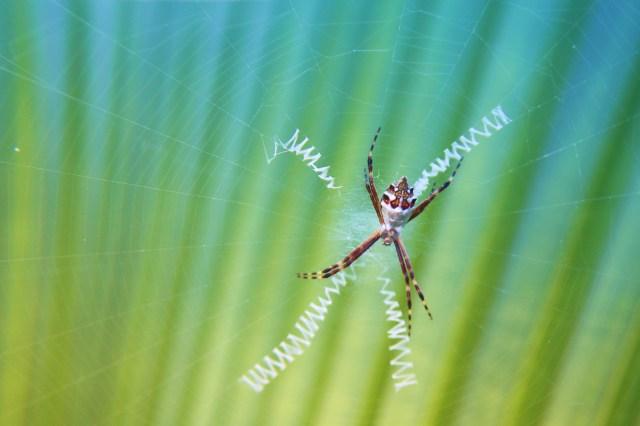 Zig zag spider