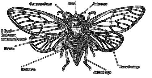 Labelled-cicada 2