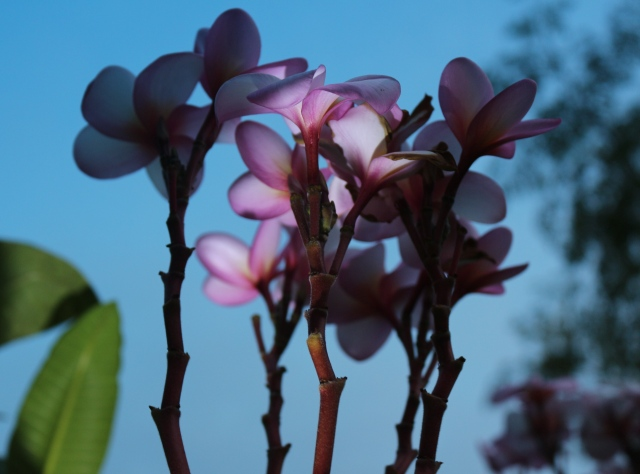 Frangipani in shadow