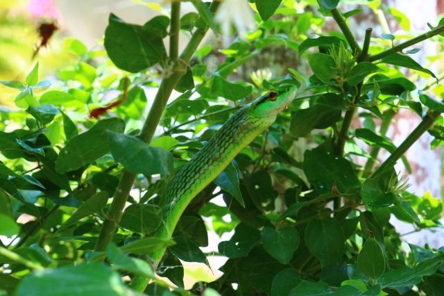 Vine Snake
