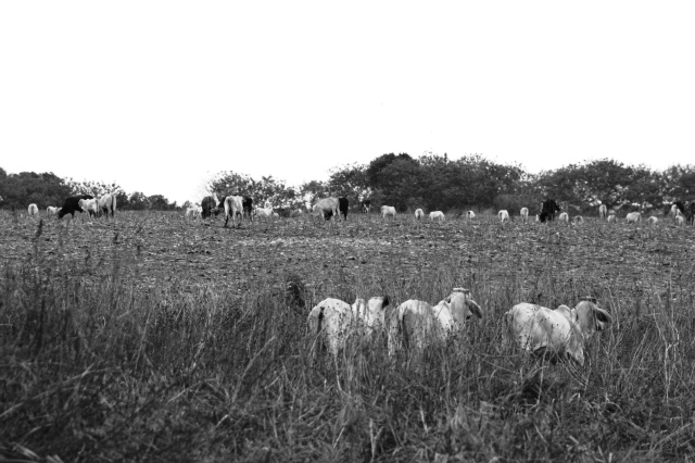 Cattle in a large field in Panama.