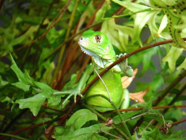 A green iguana sitting in a fern in Panama.