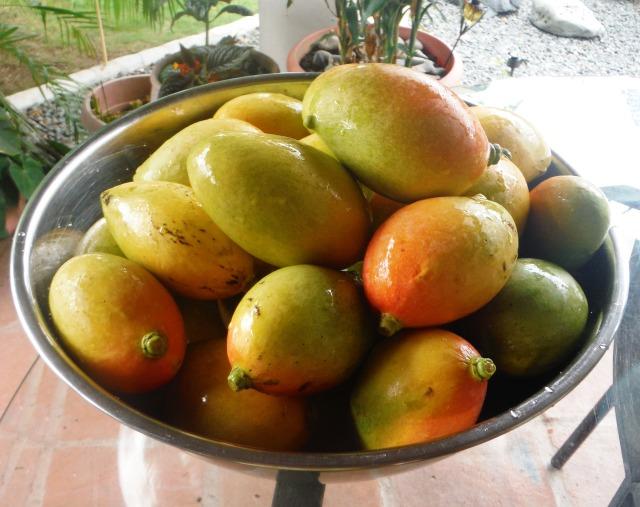 Panama mangoes.