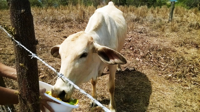 A cow eating mango from a bowl.