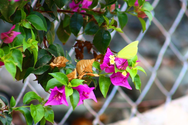 Butterfly Bougainvillea Purple
