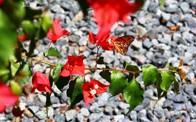 Butterfly Bougainvillea Red