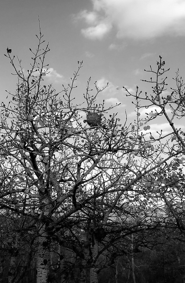Tree Wasp Nest